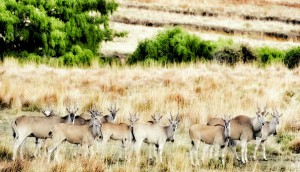 Eland seen during a Safari at Clarens Safari.