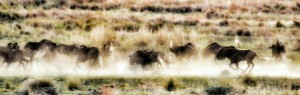 Gnu (Swartwildebeest) herd running at Clarens Safari.